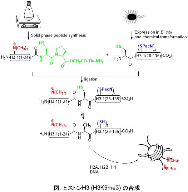 研究解説 | 蛋白質有機化学研究...