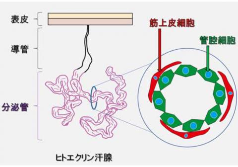 次世代制汗剤開発、発汗機能障害、汗腺再生の研究に使用できる 長期培養が可能なヒト汗腺の筋上皮細胞の樹立に成功