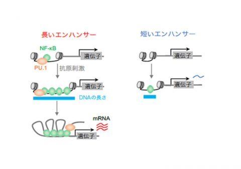 免疫の初期防御応答における閾値(いきち)機構の解明 —速やかな抗原応答のメカニズムをオミクスデータと数理モデルで説明-