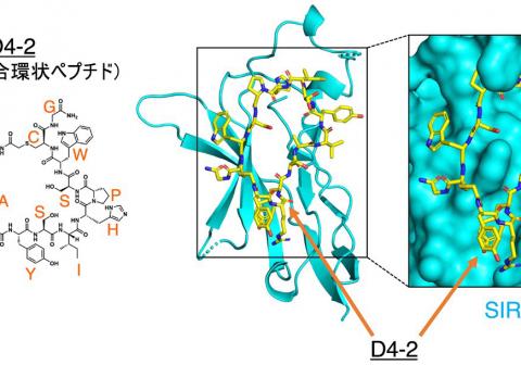抗体医薬の抗がん作用を高める 環状ペプチドを発見
