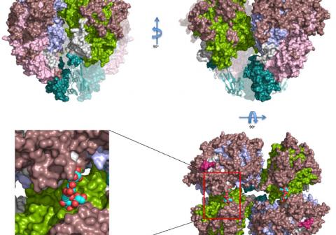 ヒト肺炎病原菌で感染の鍵となる分子の構造を解明 ~マイコプラズマ・ニューモニエの接着、滑走、抗原性変化のタンパク質~