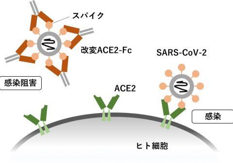 新型コロナウイルス中和タンパク製剤の開発について