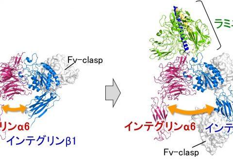 基底膜と上皮細胞を接着するタンパク質の立体構造を解明 ―効率的・安価な多能性幹細胞の培養で再生医療分野へ貢献―